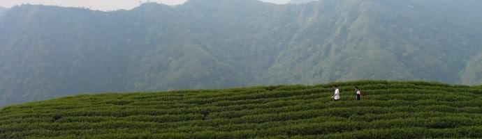 Father and son walking through Bagua tea garden