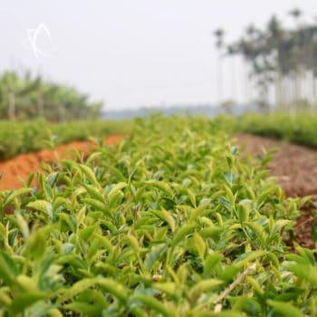 Mr. Li's Si Ji Chun garden before picking spring 2017 tea